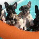 French bulldog in paddling pool